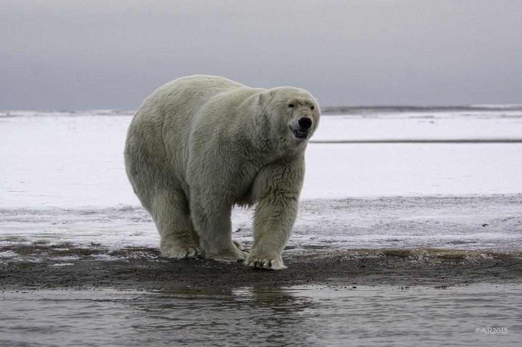 polarbear_part2
